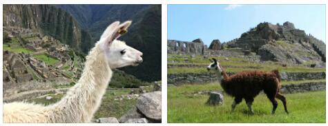 Peru Animals